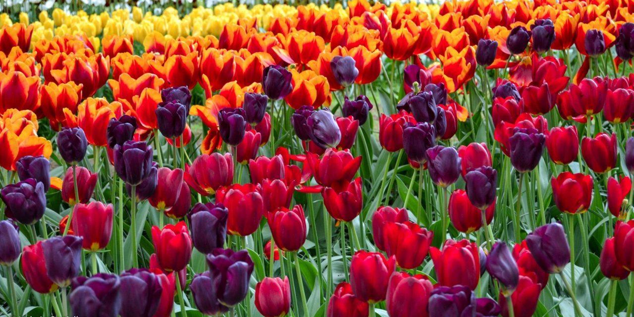 Olanda in primavera: curiosità e perchè andare