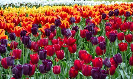 Olanda in primavera: curiosità e perché andare
