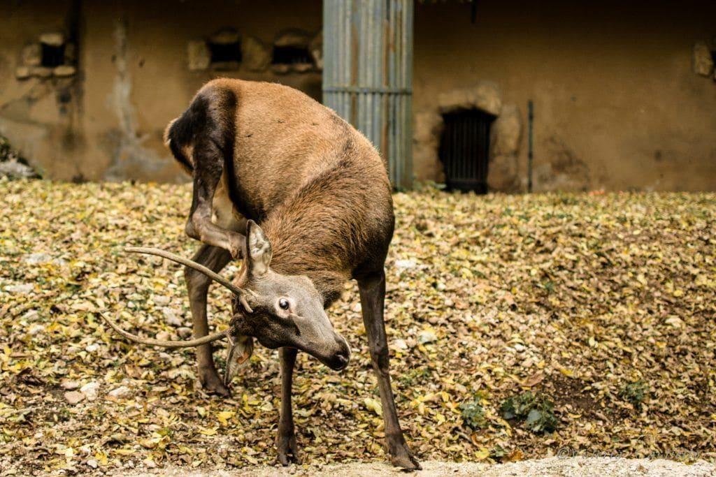 cervo_zoo_Pescasseroli_Abruzzo