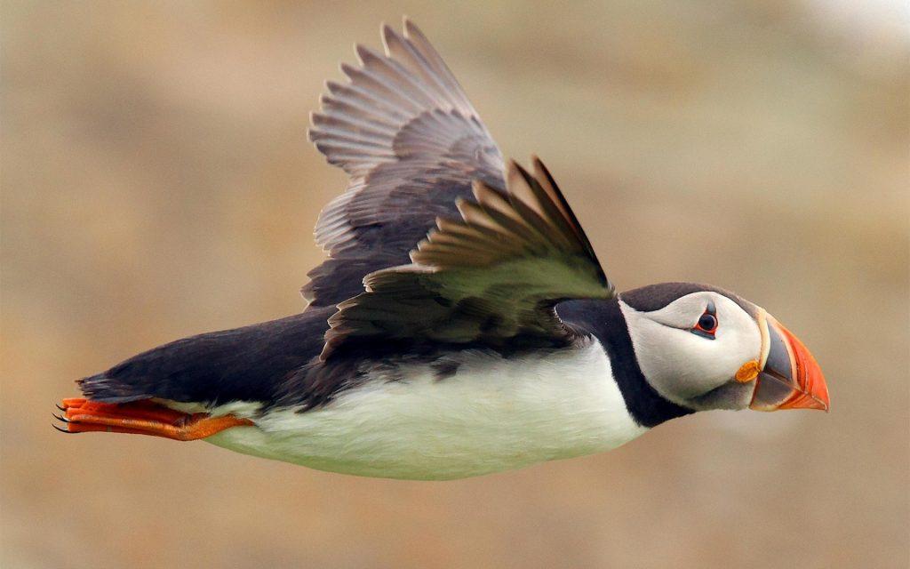 Animali in Islanda: i puffin