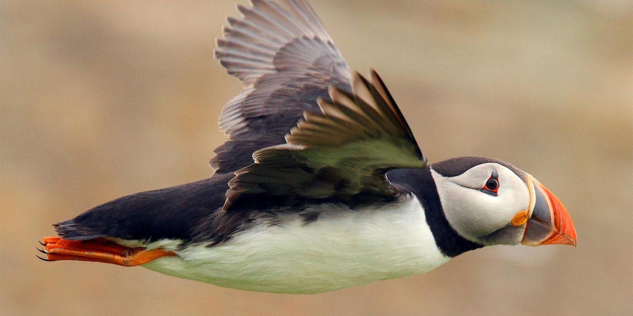 Puffin in Islanda: dove e quando vedere i pulcinella di mare