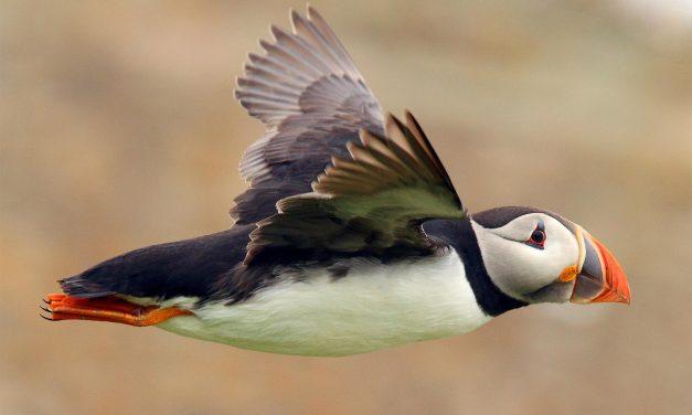 Puffin in Islanda: dove e quando vedere i pulcinella di mare. Mappa e curiosità