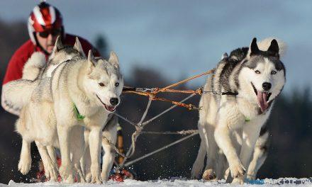 Cani da slitta in Lapponia: safari con gli husky
