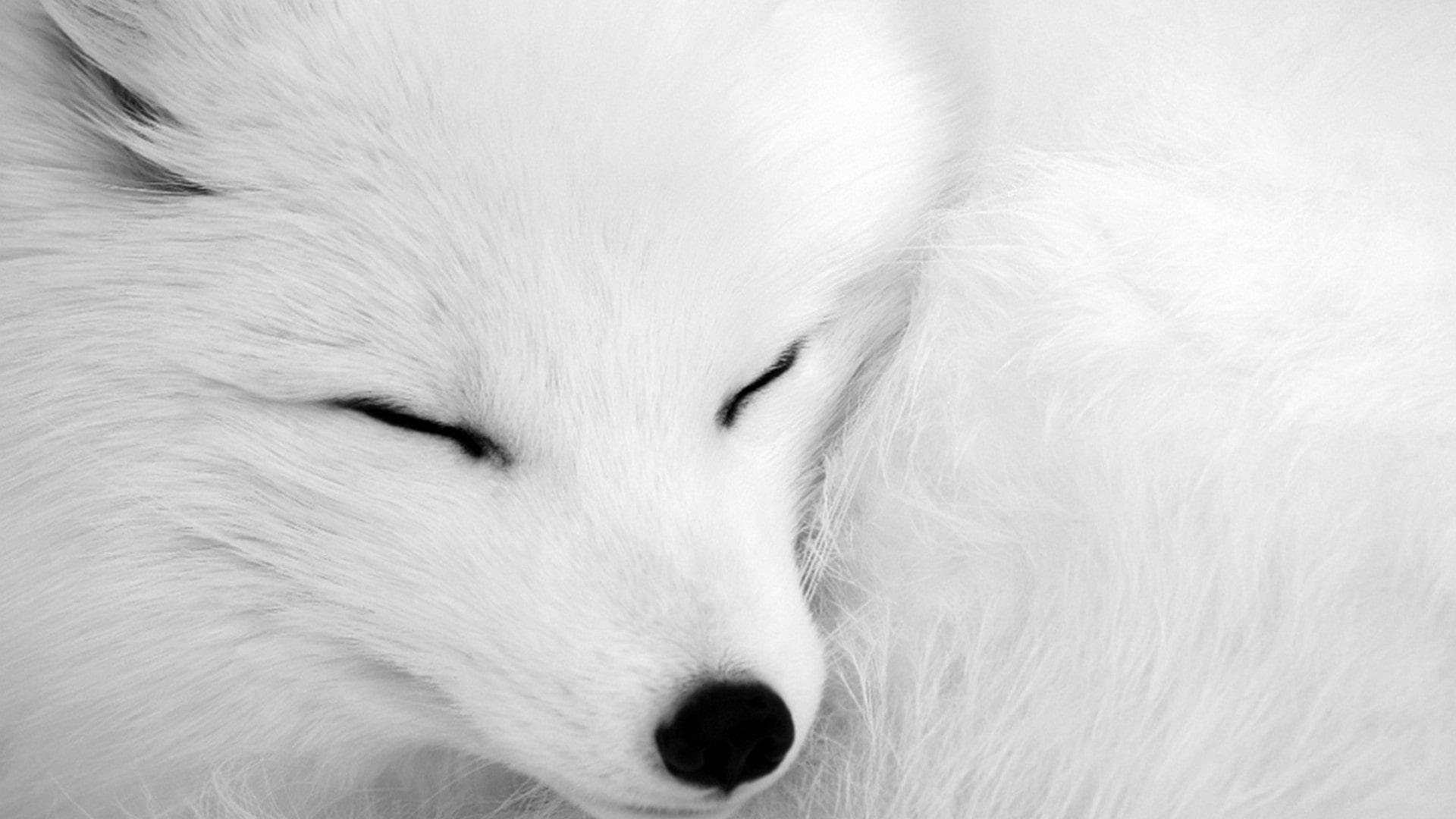 Animali in Islanda_Volpe Artica_fauna islandese