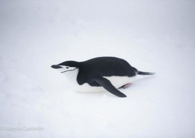 A rugby ball aka chinstrap penguin