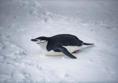 Chinstrap Penguin_Shetland Meridionali