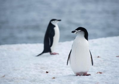 Chinstrap penguins, South Shetland Islands