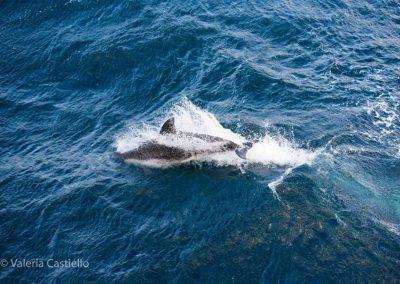 Dusky dolphin in Antarctica