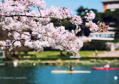 Hanami al laghetto dell'EUR, Roma