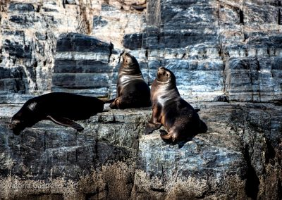 Patagonia, leoni marini