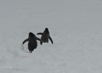 Penguins - you never get tired of them