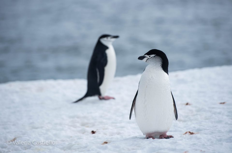 Pigoscelide antartico (Chinstrap penguin)