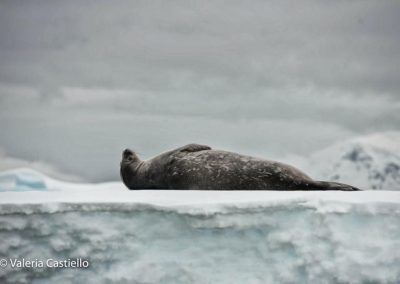 Weddel seal- wildlife in Antarctica