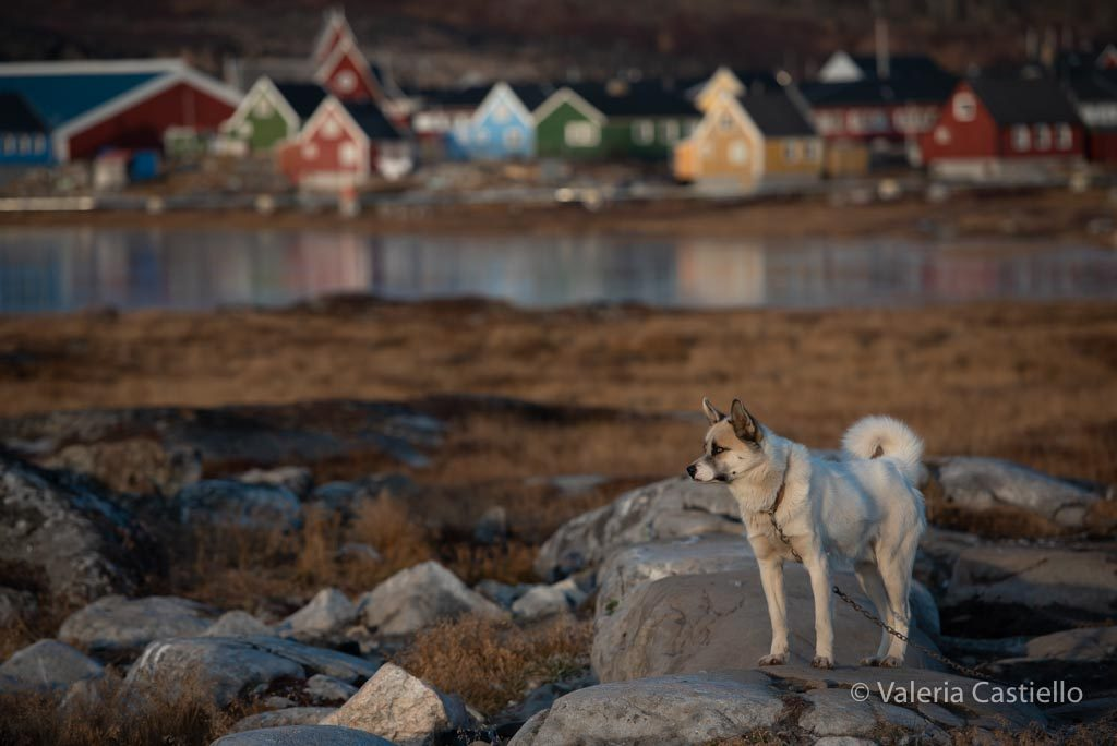 Meet the dogs - Cane groenlandese a Disko Island