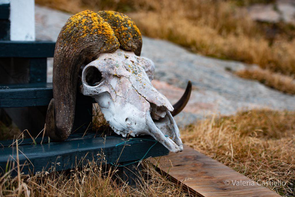 Teschio di Bue Muschiato_Mangiare in Groenlandia a basso costo