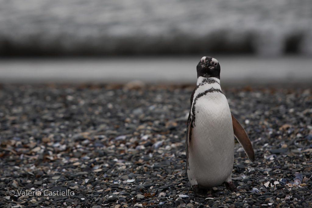 Curiosità sulla Terra del Fuoco e sulla Patagonia argentina_Pinguino magellano_Isla martillo