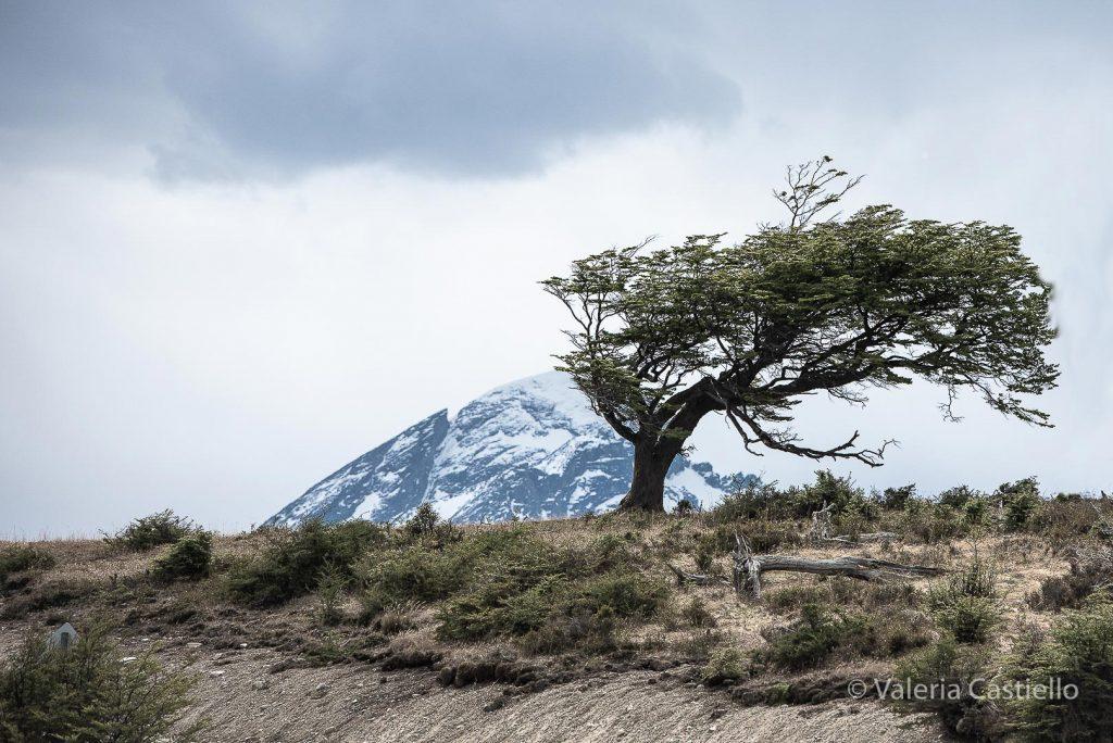 Faggio australe_nothofagus antarctica_Ushuaia