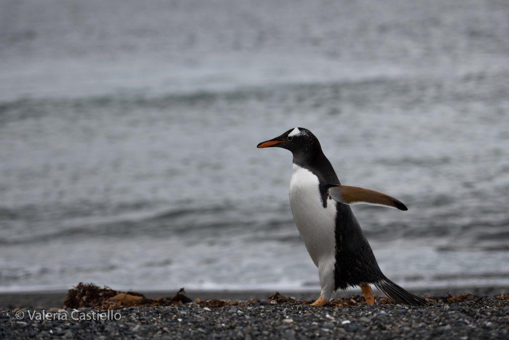 Gentoo penguin_Isla martillo_Tierra del Fuego