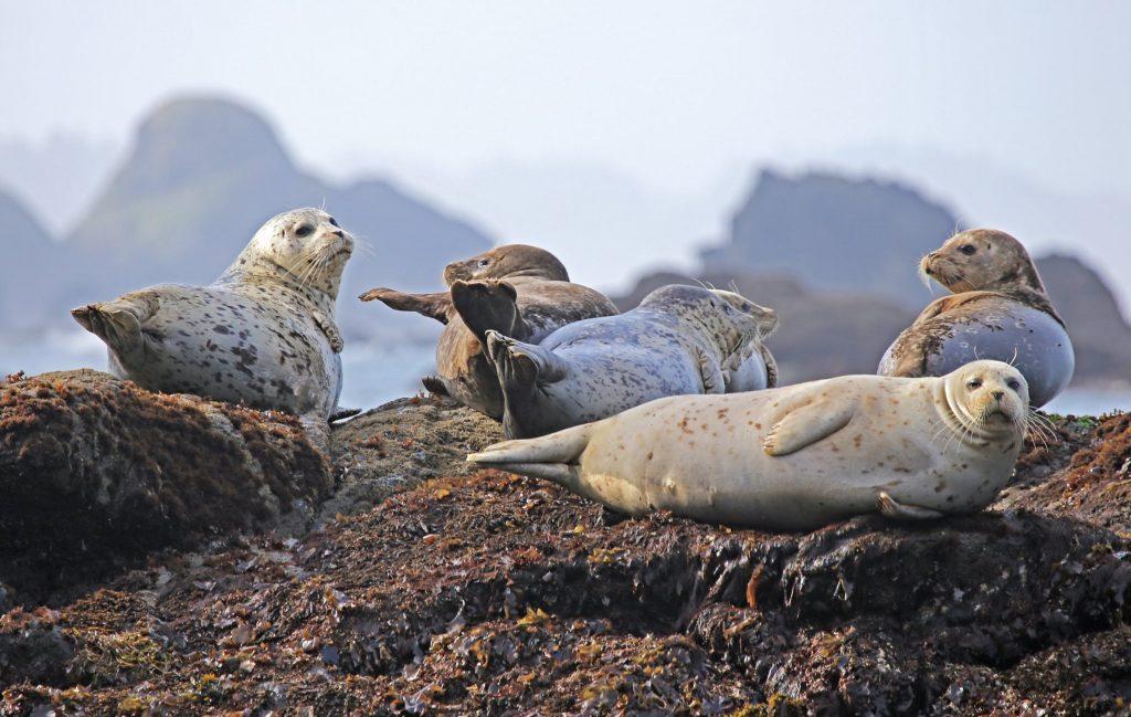 Animali in Islanda_Foche