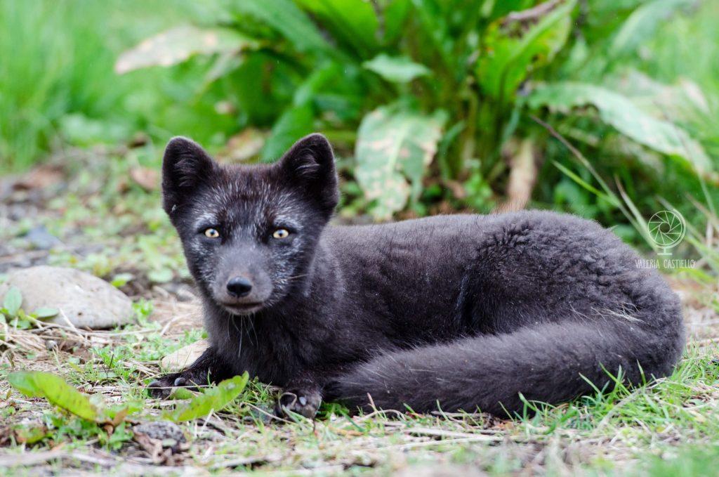Animali in Islanda: Volpe artica ad Heydalur