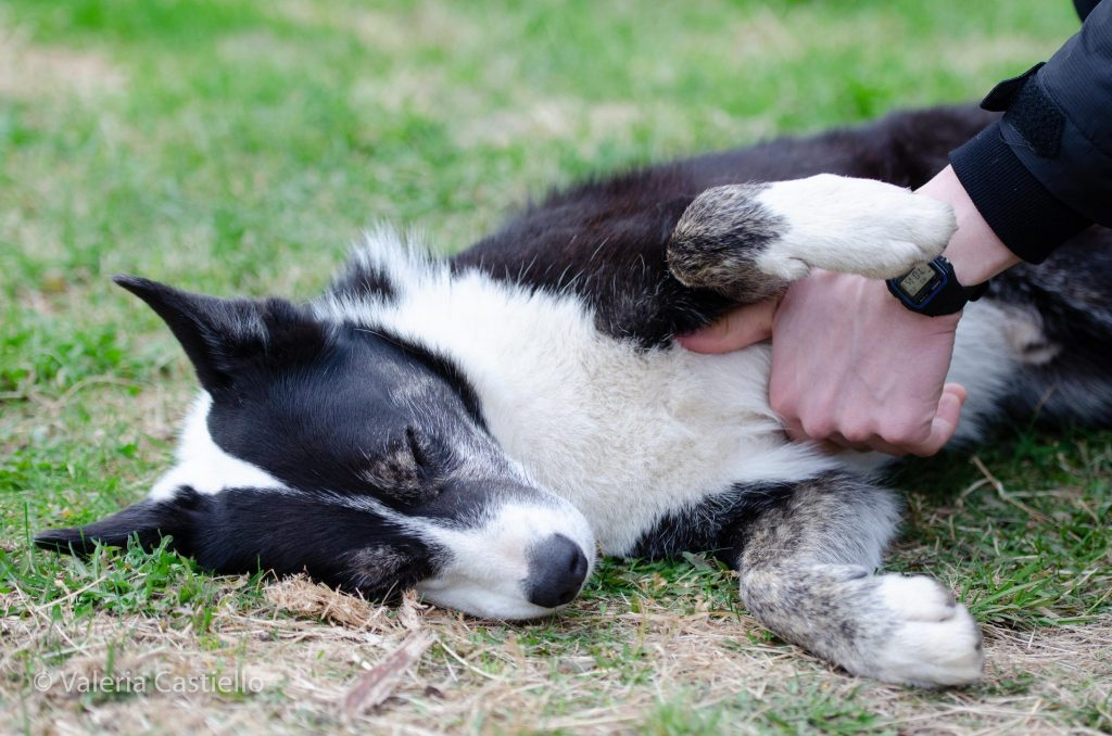 Cane da pastore islandese - Icelandic sheep dog