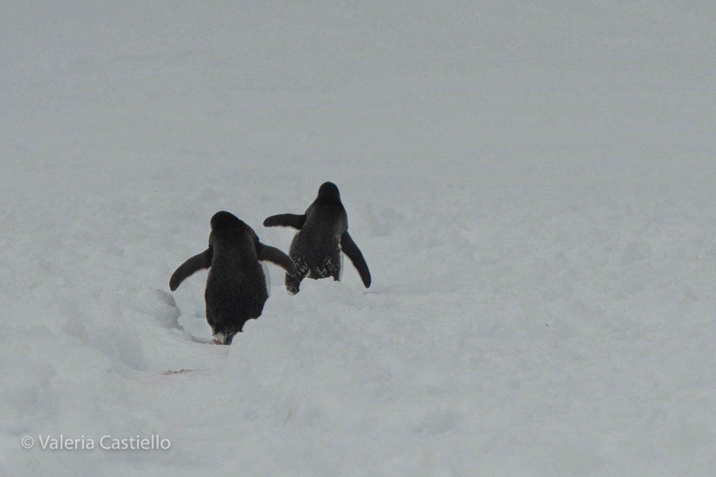Pinguini Papua alle isole Shetland meridionali