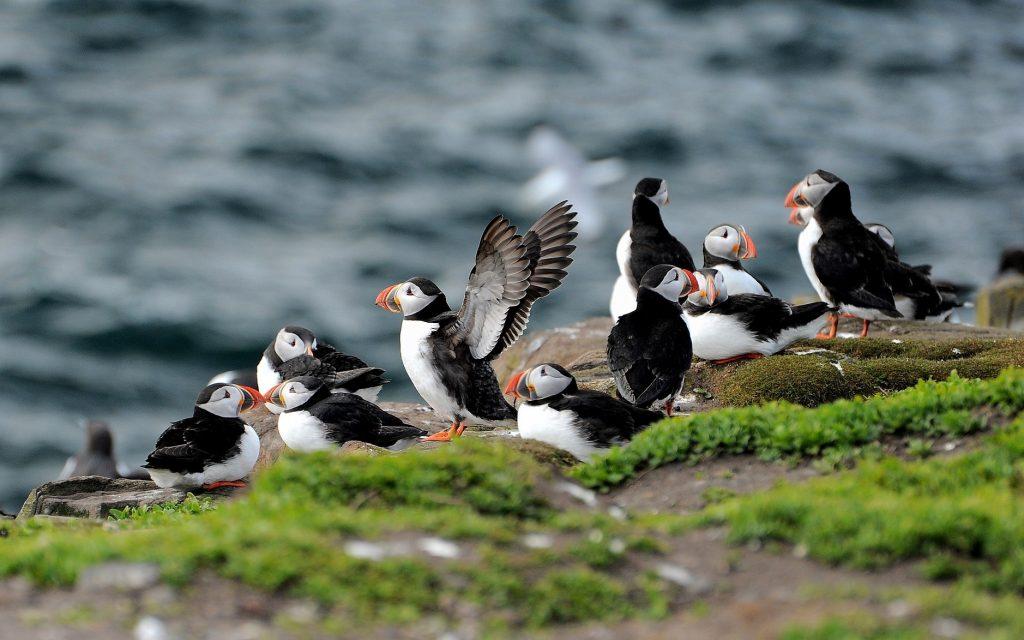 Puffin in Islanda dove e quando vedere le pulcinella di mare (e 10 curiosità!)