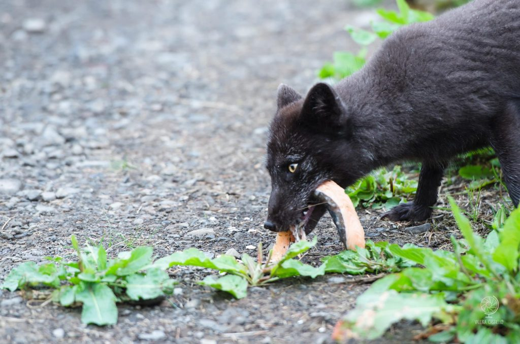 Fauna islandese: Volpe artica