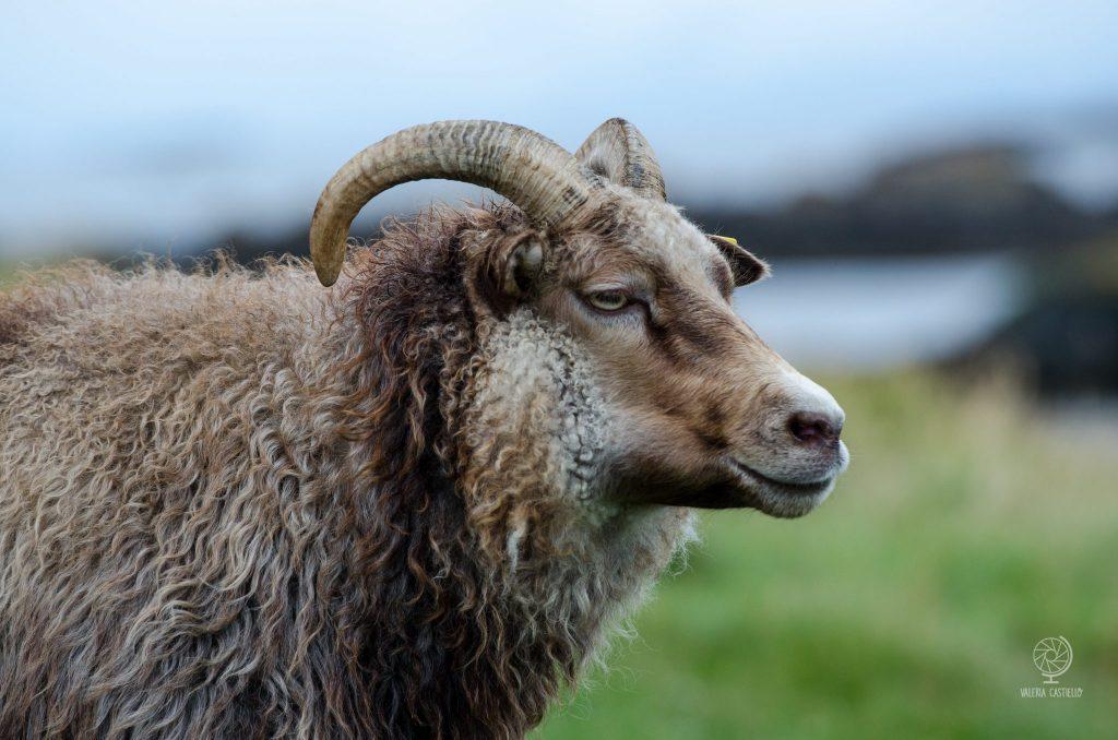 Flatey_pecora islandese