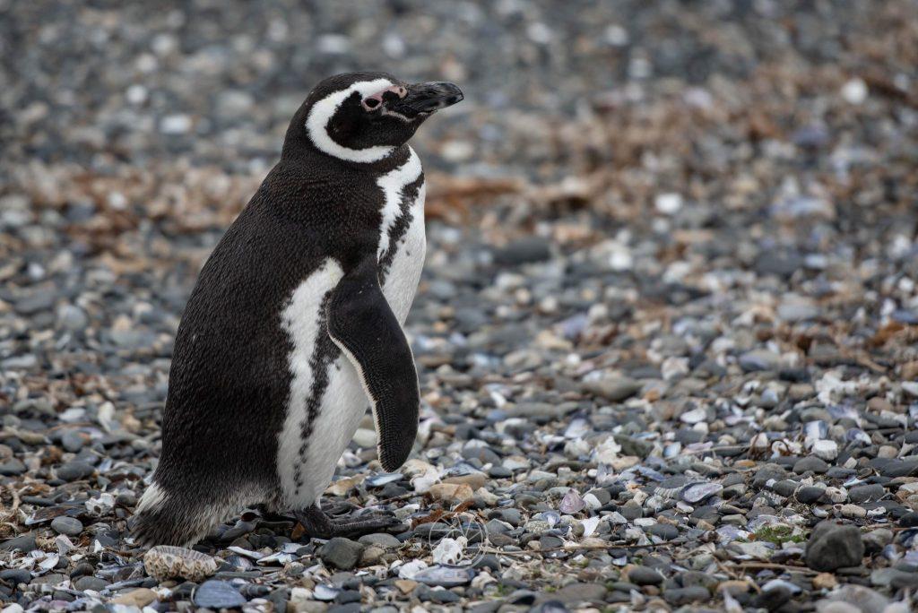 Pinguino Magellano, Isla Martillo