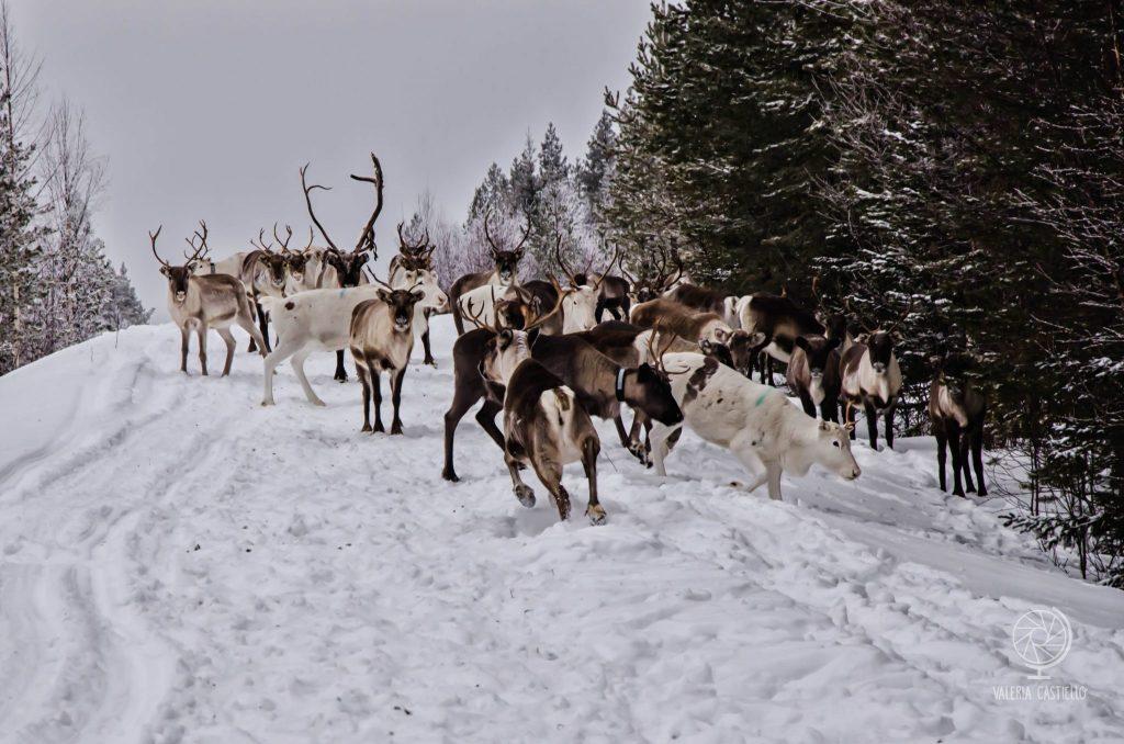 Renne in libertà - Lapponia Svedese in inverno (Nikon D7000 + un misero 18-105)