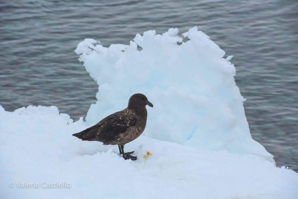 Skua antartica