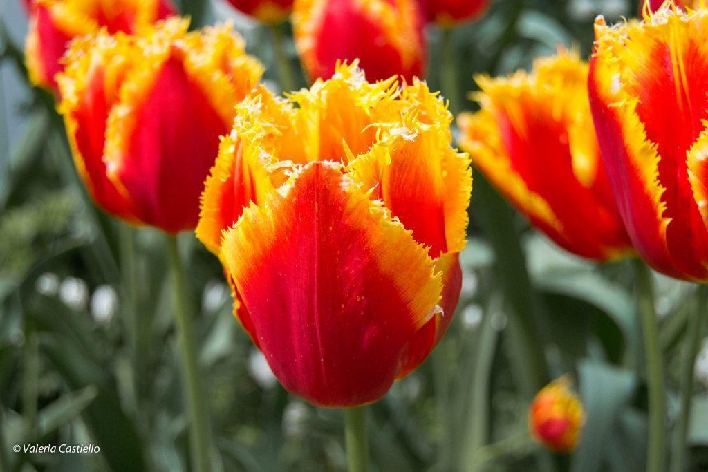 Olanda in Primavera - Keukenhof