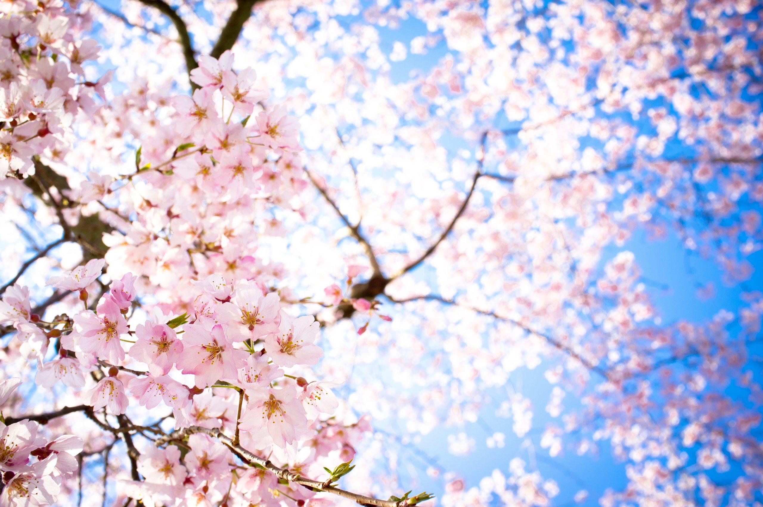 Giappone a Roma - I sakura, ciliegi giapponesi - ©freetopwallpaper.com